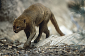 jaguarundi (Felis yagouaroundi), walking, front view, USA, Arizona, Saguaro National Monument - Stock Image - A9FXA6