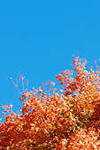 Vibrantly Colored Autumn Leaves with Copy Space - Stock Image - AJXMXK