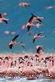 Lesser Flamingo (Phoenicopterus minor) at Lake Bogoria.Kenya - Stock Image - C4XC80