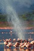 Lesser Flamingo (Phoenicopterus minor ) at Lake Bogoria's geyser and hot springs.Kenya - Stock Image - C4XENT