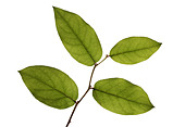 Four green plant leaves on a branch, white background - Stock Image - BMX9EX