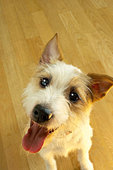 Jack Russell dog close up with wooden floor in the background - Stock Image - ADJF1D
