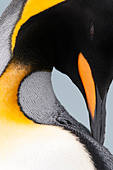 King Penguin preening, Salisbury Plain, South Georgia, South Atlantic. - Stock Image - C062G2