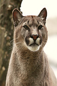 Puma is a genus in Felidae that contains the cougar, also known as the puma, among other names and the jaguarundi - Stock Image - CPF30F
