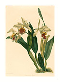 Gustav Leutzsch after Henry George Moon (German (?), active 19th century ), Cattleya Rex, lithograph - Stock Image - DDWCWG