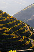 touriga nacional vineyards quinta do seixo sandeman douro portugal - Stock Image - C0TDW9