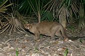 JAGUARUNDI Herpailurus yaguarondi In Belize - Stock Image - A0HDMC