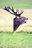 Deer head composite image - Stock Image - CC5BAA