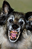 Old terrifying Tervuren Belgian Shepherd Dog showing open mouth with ugly, rotten teeth - Stock Image - CBXFPH