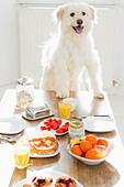 Dog sitting at table - Stock Image - CNTF2E