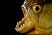 Piranha with mouth open showing teeth against black background - Stock Image - AD8A5X