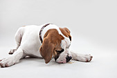 Portrait of St Bernard puppy in studio - Stock Image - D7JYD9
