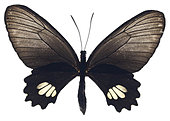 Black Butterfly with open wings on white background - Stock Image - E87EM9