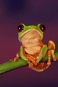 Red-eyed tree frog, Agalychnis callidryas, Barro Colorado Island, Panama - Stock Image - BFAGHF