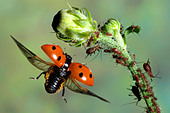 Close-up of Seven-Spot Ladybird (Coccinella septempunctata) flying near bud - Stock Image - A7T91T