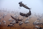 Common Cranes in early morning fog in spring, Hornborgasjoen Lake, Sweden - Stock Image - C05J2P