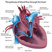 Pathway of blood flow through the heart - Stock Image - CT7KJE