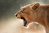 Lioness displays dangerous teeth during light rainstorm - Kruger National Park - South Africa - Stock Image - C4YBG0