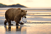 Grizzly Bear walking with caught fish in mouth - Stock Image - D9GR03