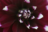 Purple Dahlia - Stock Image - AW2GAB